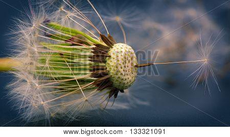 summer flower - close-up of dandelion seed macro
