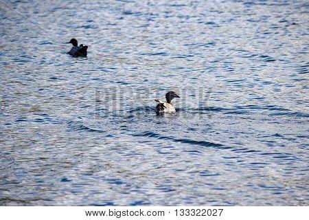 Two Australian wood ducks swimming in Lake Jindabyne's gentle water