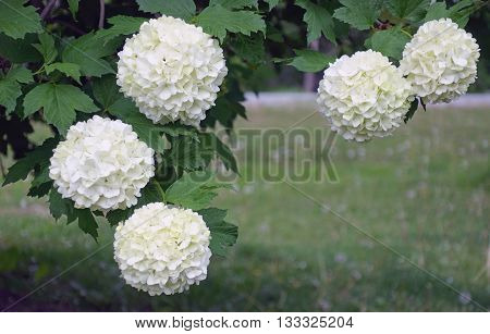 Beautiful fluffy white Chinese snowball tree flowers blooming in the springtime, spring background photo.