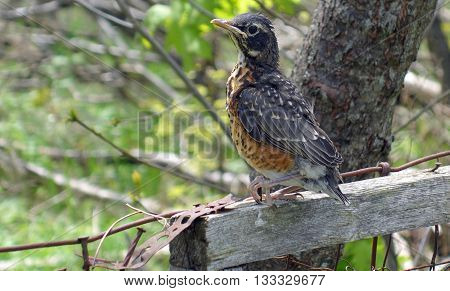 Young robin bird leaves his nest and sit's on a wood post, looking into the trees, beautiful spring nature background photo.