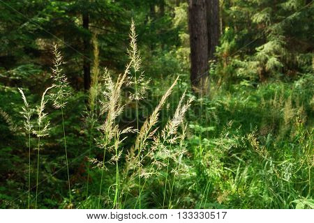Inflorescence of meadow grass on sun in the forest. Soft selective focus. Background