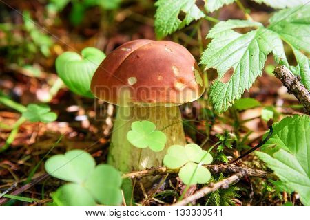 Small Boletus Edulis Mushroom In The Forest