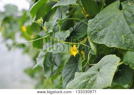 Young Cucumbers.