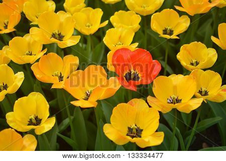 a red tulip flower standing out among a sea of yellow flowers