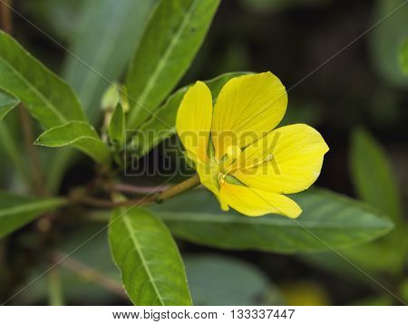 Yellow Wingleaf Primrose-willow Wildflower Blossom Ludwigia decurrens
