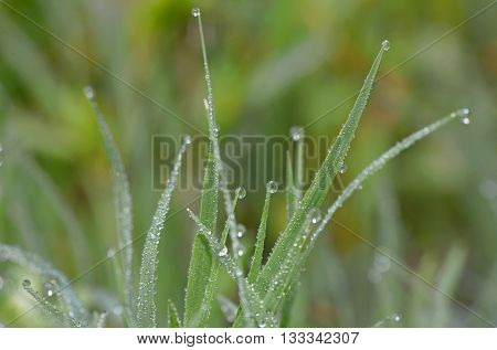 Dew drops on fresh green grass