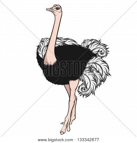 Color illustration of an ostrich. Vector isolated object on a white background.