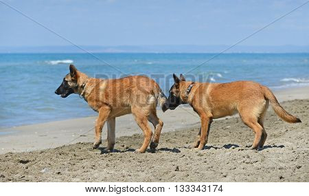 malinois standing on the beach in France