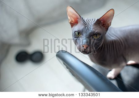 Sphinx kitten sitting, looking at the camera, hairless cat