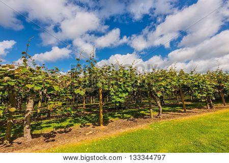 Kiwi fruit (Actinidia deliciosa) plantation New Zealand