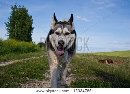 the dog breed a malamute, goes on a mowed grass, yellow color, the summer period, a green grass a background, solar evening, the nature, natural, a portrait, clouds, the sky,