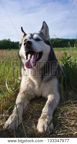 the dog breed a malamute, lies on a mowed grass, yellow color, the summer period, a green grass a background, solar evening, the nature, natural, a portrait