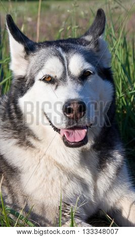 the dog breed a malamute, lies on a mowed grass, yellow color, the summer period, a green grass a background, solar evening, the nature, natural,