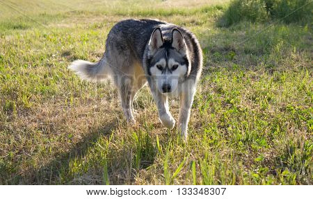the dog breed a malamute, walks on a mowed grass, yellow color, the summer period, a green grass a background, solar evening, the nature, natural, a portrait