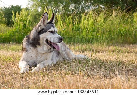 the dog breed a malamute, lies on a mowed grass, the summer period, a green grass a background, solar evening, the nature, natural, a portrait,