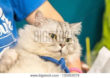 Closeup cute fat cat with hug by man background