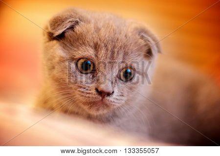 Close orange portrait of british cat lop-eared