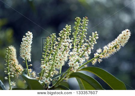 Laurel tree branch with inflorescences of white flowers