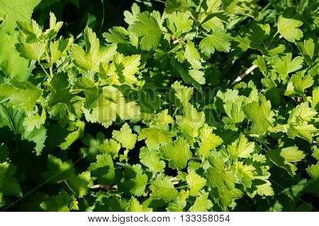 The gooseberry is a perennial shrub of the gooseberry family, berry-culture. The gooseberry is a shrub 0.5 to 2 metres.Features a textured carved leaf.