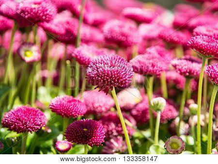 Pink English daisies - Bellis perennis - in spring park. Detailed seasonal natural scene. Bellasima rose. Beauty in nature. Vibrant color.