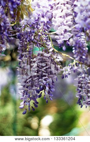 Brushes inflorescences with purple wisteria open flowers