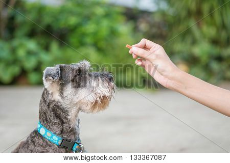 Closeup schnauzer dog looking food stick for dog in woman hand on blurred in front of house view background