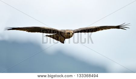 The African marsh harrier in flight (Circus ranivorus)