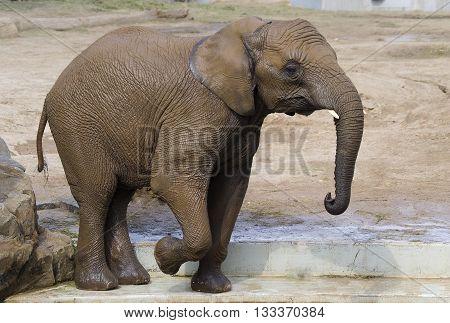 Elephant not hastily walks, sunny summer day