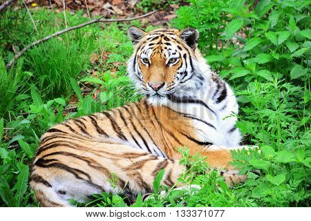 The Amur tiger lying in green grass