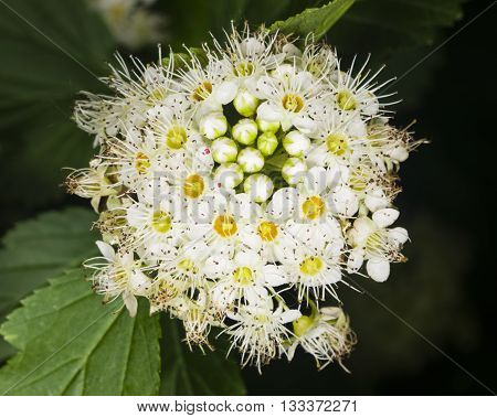 White flowers and buds of Spiraea meadowsweet background close-up selective focus shallow DOF