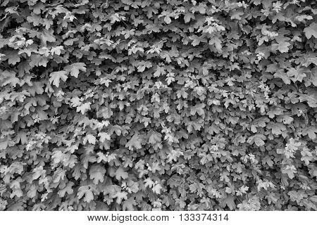 Spring Nature, Wall Overgrown With Fresh Ivy Leaves. Natural Hedge Fence In Garden.