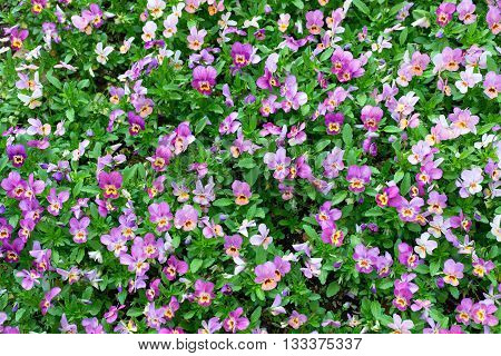 Pansy Plants Cultivated As Garden Flowers. Viola Pansies In Garden. Beauty Nature.