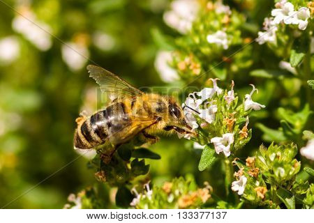 The western honey bee European honey bee - Apis mellifera is the most common of the 40 species of honey bee worldwide. The genus name Apis is Latin for