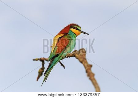 Bright bird on a branch against a background of dark sky, european bee eater