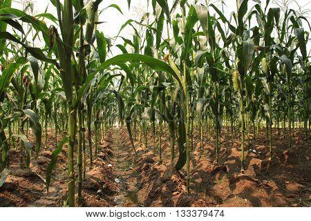 Green corn field,blue sky and sun on summer day. Green corn field,