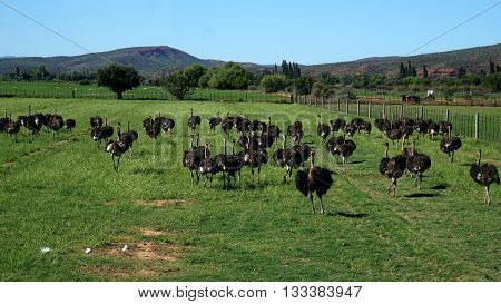 On an ostrich farm in South Africa, behind a fence are male ostriches with a black plumage and white feathers on a meadow, in the background the Swartberg Mountains in South Africa
