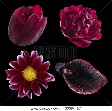 Set of natural purple flowers: tulip, peony, chrisantemum and black calla, isolated on black
