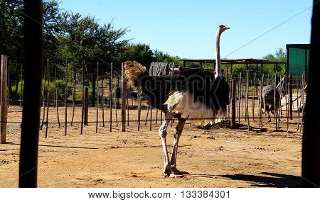 on an ostrich farm in South Africa, behind a fence a male ostrich with a black plumage and white feathers