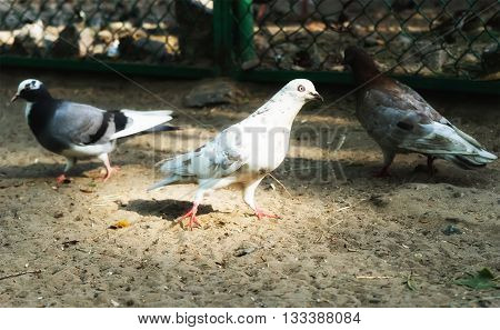 Pigeon. Dove. The large bird genus is often referred to as the typical pigeons