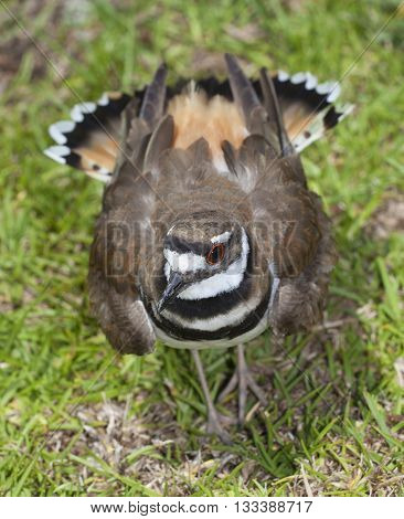 Killdeer puffing up its feathers to guard a nest