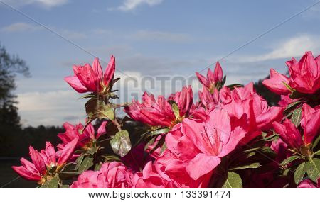 Pink and red azalea blooms with sky and clouds behind