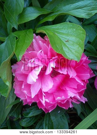 A fully open but shy pink peony in the company of green leaves.