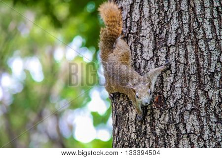 Eastern Gray Squirrel (Sciruus carolinensis). large squirrel on the trunk of a tree on a green background. funny squirrel. curious squirrel.
