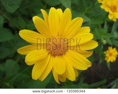 One cutleaf coneflower (rudbeckia) yellow flower .