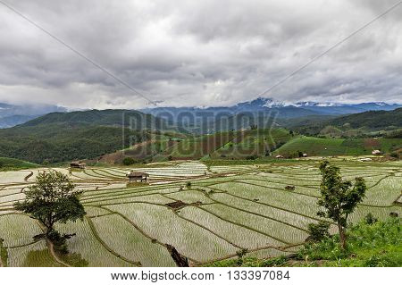 Rice Seedling On Terrace Rice Fields In Cloudy Day - Chiang Mai, Thailand