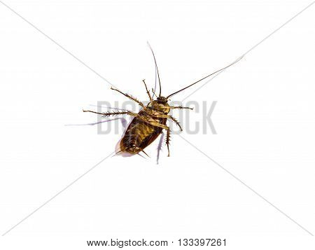close-up cockroach body isolated on white background
