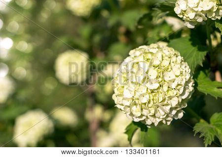 Globular inflorescences decorative Viburnum . Selective focus.