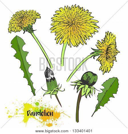 Vector hand drawn set of dandelion blossom. Summer medical plants in vibrant color. For medicine coocking gardening or decorating.