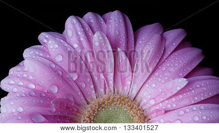 PURPLE GERBER DAISY CLOSE UP WITH WATER DROPS