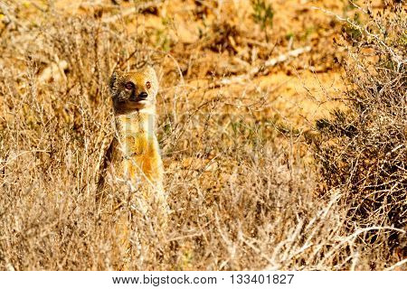 Sorry It Was Me - Meerkat - Suricata Suricatta